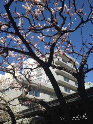 Fleurs de plum tree